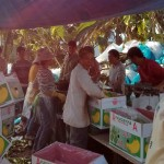 Washing, weighing and packing bananas under a tarp in the hot sun