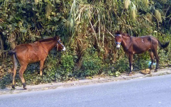Banana horses are parked a bit further