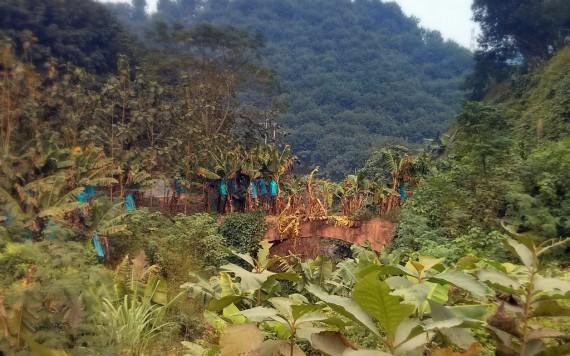 Banana trees growing on a bridge