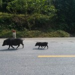 Two tame boars