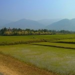 Rice fields!
