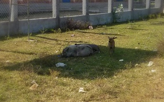 A dog keeping watch over two sleeping pigs