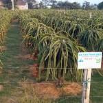 Dragonfruit trees bearing fruit