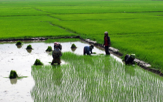 Planting of the rice plants