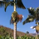 I wonder what fruit this palm-like tree is bearing