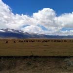 Grazing yak in quintessential Tibetan scenery