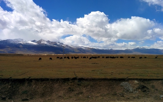 Grazing yak in quintessential Tibetan scenery